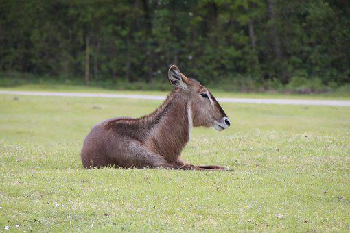 Deer, Buck, Ruminant, Wild, Nature, Park, Animals