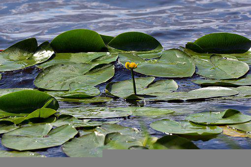Yellow Water Lily, Flower, Lake, Plant