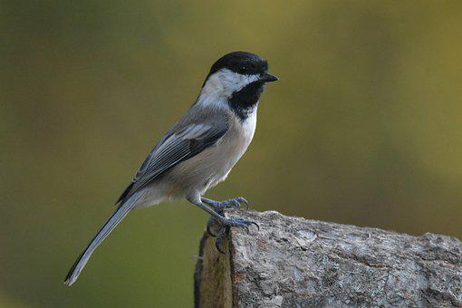 Black-capped Chickadee, Bird, Perched, Animal, Feathers