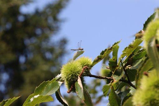 Dragonfly, Chestnuts, Chestnut Tree, Chestnut Fruits