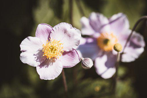 Japanese Anemone, Flowers, Nature, Garden, Blossom