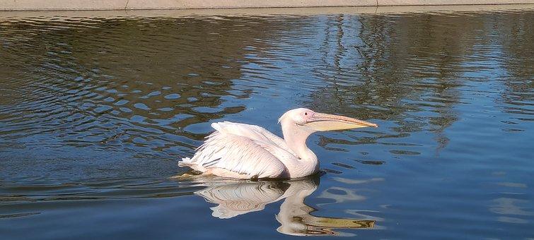 Great White Pelican, Pelican, Lake, Pond, Water Bird