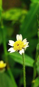 Shaggy Soldier, Flower, Plant, Peruvian Daisy