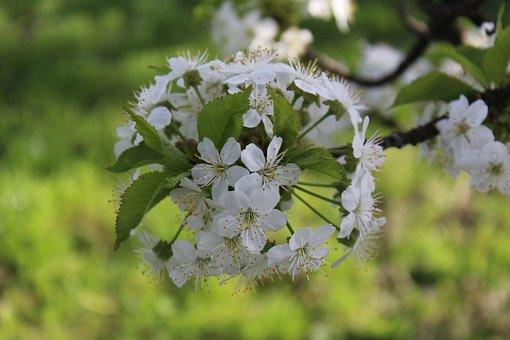 Cherry Blossom, Flowers, Spring, White Flowers, Bloom