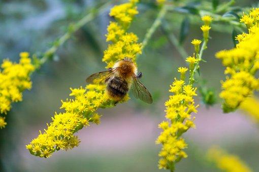 Bee, Honey Bee, Nature, Goldenrod, Blossom, Bloom
