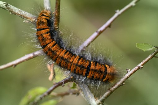 Caterpillar, Blackberry Moth, Butterfly, Insect, Branch