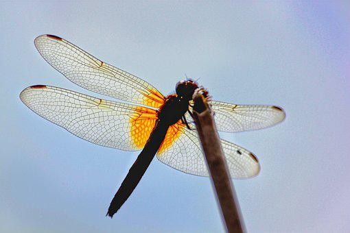 Dragonfly, Insect, Nature, Wings, Macro, Closeup, Sky