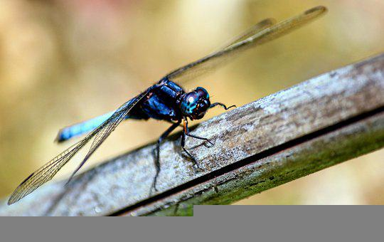 Dragonfly, Insect, Stem, Wings, Plant, Nature, Macro