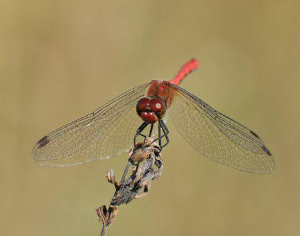 Ruddy Darter Dragonfly, Dragonfly, Dried Flower, Insect