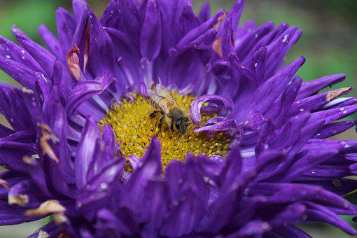Honey Bee, Bee, Flower, Aster, Insect, Purple Flower
