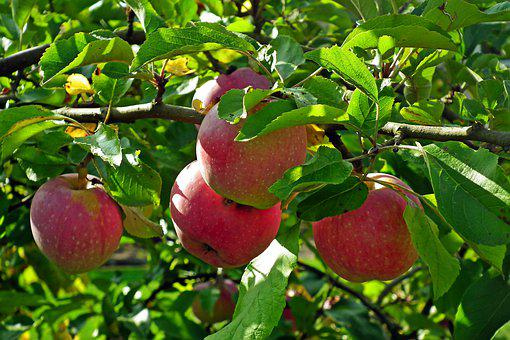 Apples, Fruits, Branch, Red Apples, Food, Organic