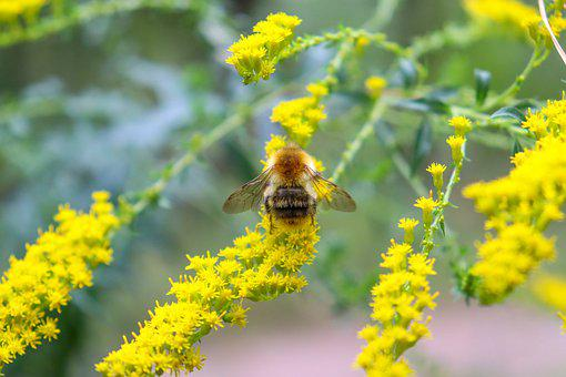 Bee, Honey Bee, Insect, Plant, Pollination, Goldenrod