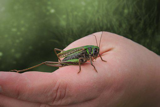 Grasshopper, Insect, Hand, Mantodea, Nature, Animal