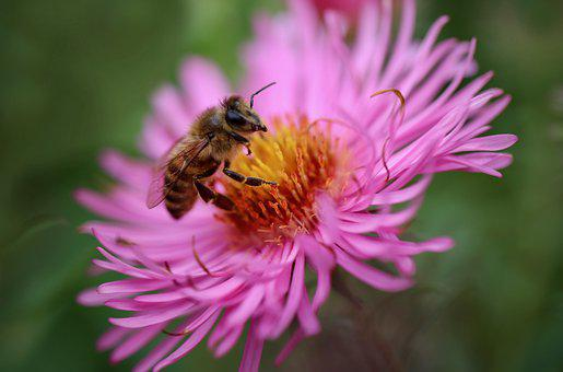 Honey Bee, Bee, Aster, Insect, Pollination, Flower