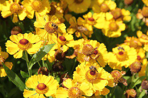 Flowers, Sneezeweeds, Bees, Insects, Yellow Flowers
