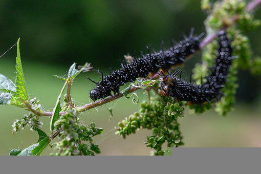 Caterpillars, Insects, Catkins, Larva, Nettle, Stinger