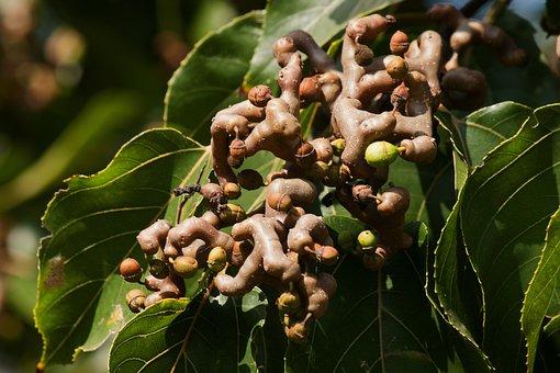 Japanese Raisin, Fruits, Branch, Seeds, Leaves, Foliage