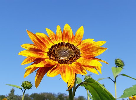 Sunflower, Flower, Bee, Insect, Nature, Landscape