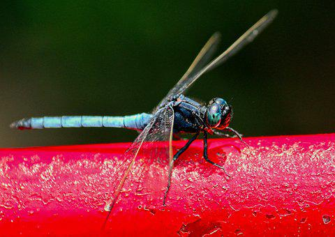 Dragonfly, Insect, Nature, Wings, Macro, Closeup, Marco