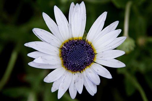 African Daisy, Flower, White Flower, Petals