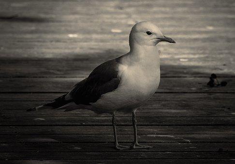 Gull, Bird, Black And White, Seagull, Seabird, Animal
