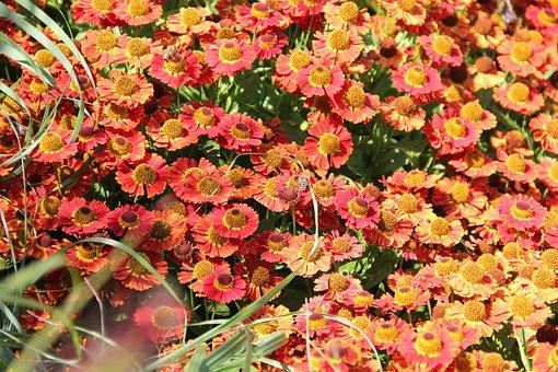 Sneezeweeds, Flowers, Plants, Helenium, Sun Brides