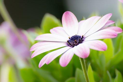 African Daisy, Flower, Plant, Cape Marguerite