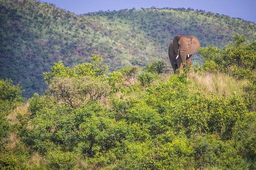 Elephant, African Elephant, Africa, Savannah, Wildlife