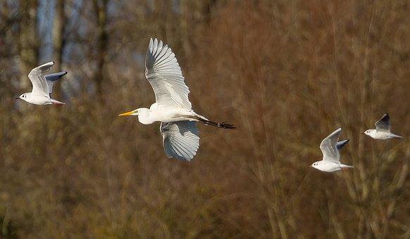 Great White Egret, Gulls, Flying, Birds, Heron, Egret