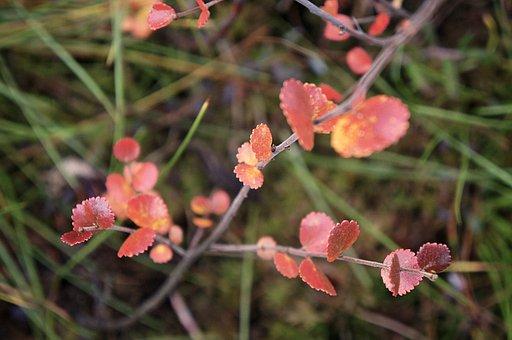 Dwarf Birch, Leaves, Plant, Fall, Red Leaves, Foliage