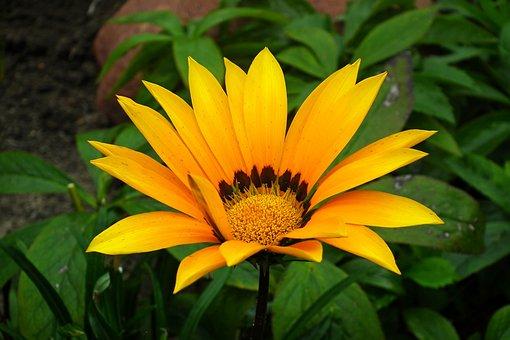 Gazania, Yellow Flower, African Daisy, Nature, Garden