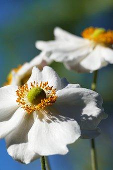 Japanese Anemone, White Flowers, Garden, Nature