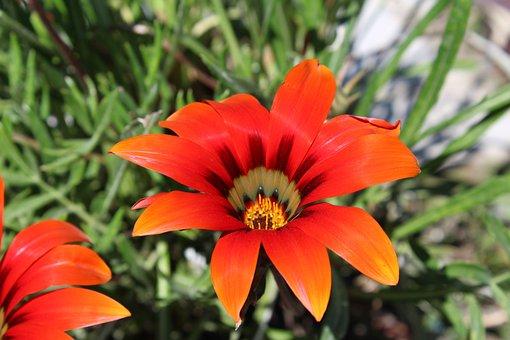 Gazania, Orange Flowers, African Daisies, Nature