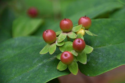 Tutsan, Berries, Fruits, Red Fruits, Leaves, Plant