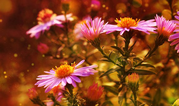 Flowers, Bloom, Botany, Aster, Blossom, Garden, Nature