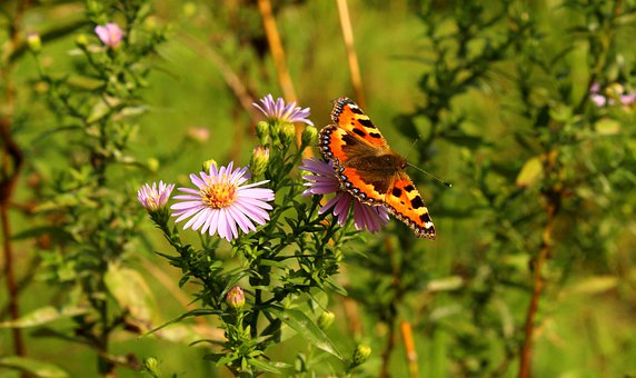Flowers, Butterfly, Pollination, Insect, Entomology