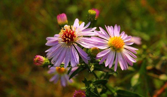 Flowers, Bloom, Botany, Blossom, Aster, Garden, Nature