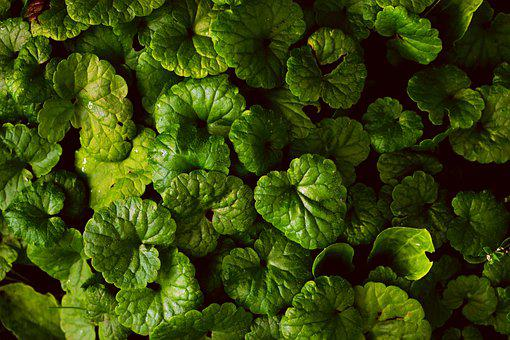 Ground Ivy, Leaves, Plants, Catsfoot, Foliage, Green