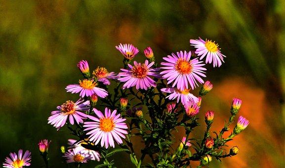 Flowers, Aster, Bloom, Blossom, Botany, Plant, Garden