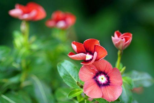 Periwinkle, Flowers, Plants, Vinca, Red Flowers, Petals