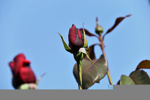 Rose, Flower, Bud, Red Rose, Red Flower, Velvet Rose