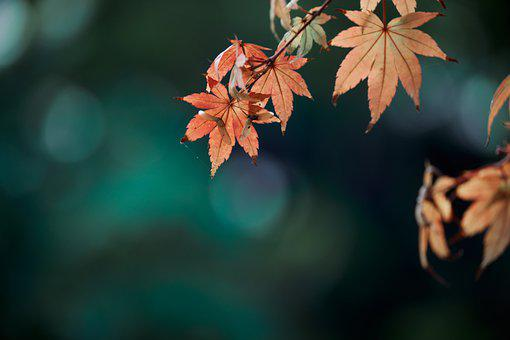 Red Leaves, Maple, Autumn, Fall Colors, Golden