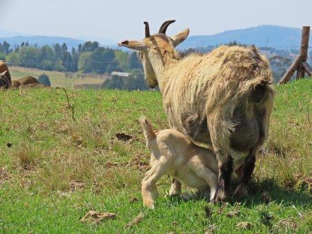 Goats, Ruminants, Mammals, Pasture, African Boer Goats
