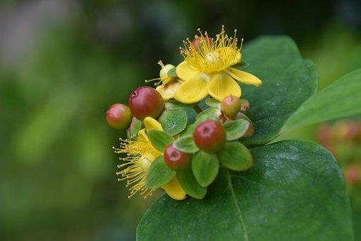 Tutsan, Flowers, Fruits, Berries, Red Fruits