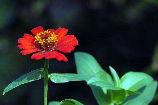 Zinnia, Flower, Plant, Red Flower, Petals, Bloom