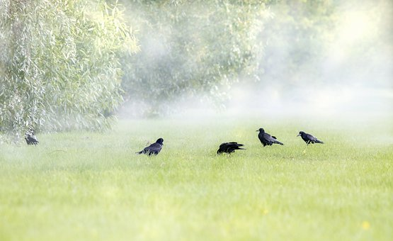 Crows, Birds, Perched, Animals, Feathers, Plumage