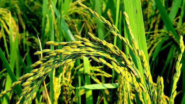 Rice, Field, Rice Field, Barley, Crops, Arable Land