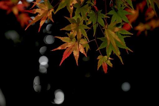 Leaves, Maple, Foliage, Autumn, Autumnal, Japanese