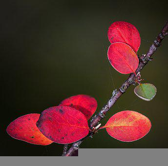 Red Leaves, Nature, Plant, Macro