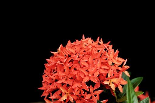 Chinese Ixora, Flowers, Plant, Ixora, Red Flowers